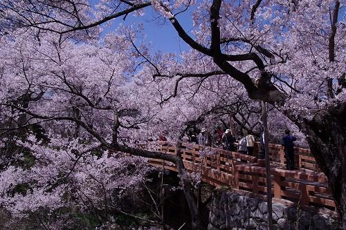 高遠城址公園の桜ベストポジション