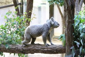 移動中のコアラ